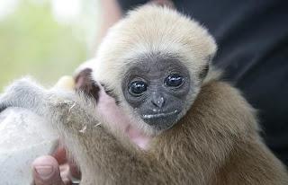 """""""Gibbon"""""""