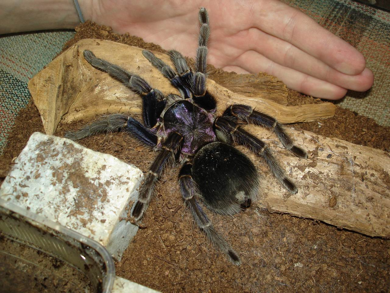 tarantula species list with pictures pdf