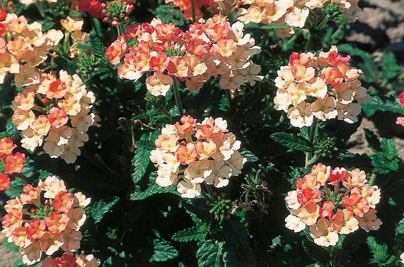 Les Jardins du Laveu: Verveine (Langage des fleurs)