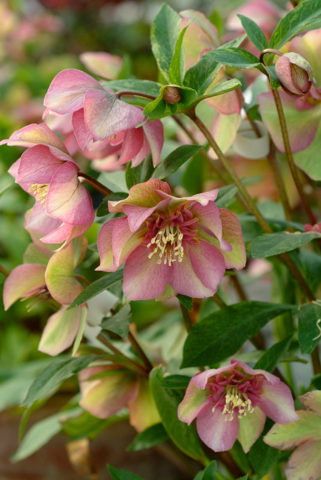 hellebore a great plant for shade that deer don 39 t eat. Black Bedroom Furniture Sets. Home Design Ideas