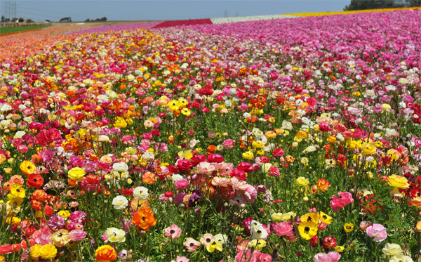 Ranunculus Fields in San Diego, California