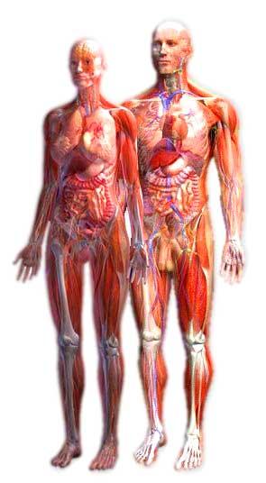 musculo femenino   Anatomía Funcional