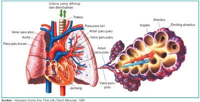 Bagian-bagian paru-paru manusia alveolus