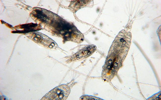 Планктоны в домашних условиях 375