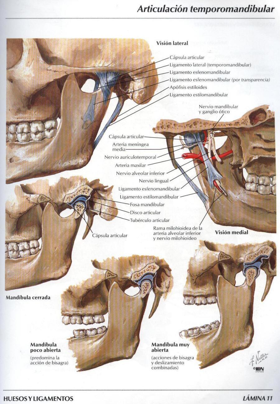 BryantLiriano Embriologi Bucodental