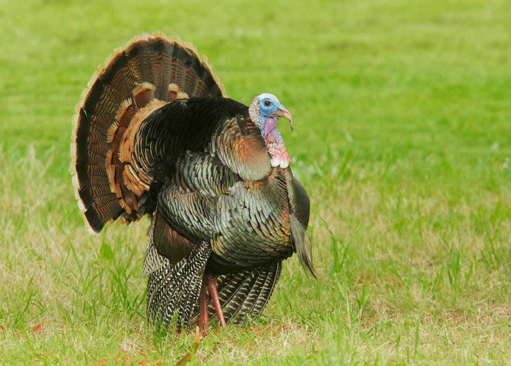 adult female turkey