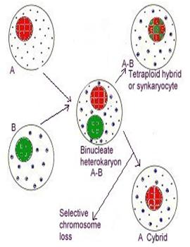 Curso cultivo de tejidos vegetales hibridacion somatica y for Incompatibilidad en plantas