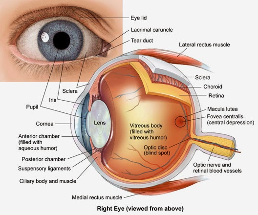 The Eyes and Vision This article gives a brief overview of the eyes, eye function, and how we see.  Structure of the eye     The coloured part of your eye is called the iris. The iris is made up of muscle fibres which help to control the size of the pupil. The pupil is not an actual structure but the circular opening in the middle of the iris. The pupil appears as the dark central part of the eye. The pupil can change size depending on the amount of light going through it. In darkness your pupils will get bigger to allow more light in.  The retina is a layer of the eyeball, found on its back wall. It contains highly specialised nerve cells which convert the light received into electrical signals to be passed to the brain. Near the centre of the retina is the macula. The macula is a small highly sensitive part of the retina. It is responsible for detailed central vision. It contains the fovea, the area of your eye which produces the sharpest images.  The white of your eye is called the sclera. This is a protective layer which covers all of the eyeball except the cornea. The cornea is a transparent layer which allows light to enter the eye. Beneath the sclera is the choroid. The choroid is another layer of the eye, which lies between the retina and the sclera. Its function is to provide oxygen and nutrients to the retina below. In order to do this the choroid has many blood vessels within it. At the front of the eyeball the choroid connects with the ciliary body.  In order for an object to be 'seen' the light coming from the object must hit the retina. Structures in the eye are needed to make sure that light entering the eye reaches the retina and is focussed. The cornea and lens help to do this by bending light entering the eye. The cornea gives an initial bend to the light. But the lens is the 'fine tuner'. The lens can change shape with the help of the ciliary body which contains fine muscle fibres. Depending on the angle of the light coming into the eye, the lens becomes more or less convex (curved) to focus the light correctly onto the macular on the back of the eye. This is very similar to a lens in a camera which focusses the light onto the film. The optic nerve carries the electrical impulses created in the retina to the brain.  The eye needs to keep its shape so that light rays are focussed accurately onto the retina. So, most of the eye is filled with a substance like jelly called the 'vitreous humour' (humour meaning fluid). The front of the eye is filled with a clear fluid called 'aqueous humour', which is more watery.  The aqueous humour is made continuously by cells that line the ciliary body. The fluid circulates through the front part of the eye, and then drains away through an area called the 'trabecular meshwork', which is located near the base of the iris. So, there is constant production and drainage of fluid.  Eye movements The movement of each eye is controlled by six muscles that pull the eye in various directions. For example, to look left, the lateral rectus muscle of the left eye pulls the left eye outward and the medical rectus of the right eye pulls the right eye inward towards the nose. Levator palpebrae superioris opens the upper eyelid.    The eyelids The upper and lower eyelids help to protect the eye, and keep its surface moist. The upper eyelid is more movable and is attached to a special muscle, called levator palpebrae superioris. This muscle allows you to control the movements of the upper eyelid. Eyelids help to spread the tear film across the eye. They also contain a special oil which slows down the evaporation of the tear film.   The eyelids are made up of several different layers including the conjunctiva. The conjunctiva is the thin layer you see on the inside of your eyelid, which makes contact with the eyeball itself. The surface of the eyeball also has its own conjunctiva. When the blood vessels in this conjunctiva become enlarged they can be seen, giving a 'bloodshot' appearance. Eyelashes help to stop debris and direct sunlight from entering the eyes.  Tear formation To avoid damage to the sensitive surface of the eye it needs to be kept moist. The eyes are in constant contact with your eyelids. Without some form of lubrication, the friction created between the two layers of conjunctiva would cause rubbing. To prevent this, and to help remove debris, the eye produces a tear film. The tear film is made up from three layers - the main middle watery layer, the thin outer lipid (oily) layer, and the thin inner mucus layer.        The main middle watery layer is what we may think of as 'tears'. The watery fluid comes from the lacrimal glands. There is a lacrimal gland just above, and to the outer side, of each eye. The lacrimal glands constantly make a small amount of watery fluid which drains onto the upper part of the eyes. When you blink the eyelid spreads the tears over the front of the eye.  Tiny glands in the eyelids (meibomian glands) make a small amount of lipid (oily) liquid which covers the outer layer of the tear film. This layer helps to keep the tear surface smooth and to reduce evaporation of the watery tears.  Cells of the conjunctiva at the front of the eye and inner part of the eyelids also make a small amount of mucus-like fluid. This allows the watery tears to spread evenly over the surface of the eye.  The tears then drain down small channels (canaliculi) on the inner side of the eye into a tear 'sac'. From here they flow down a channel called the tear duct (also called the naso-lacrimal duct) into the nose.  Tear formation in people can also occur in response to emotion. When this happens the lacrimal glands simply produce more lacrimal fluid which spills over the eyelids.  How does the visual system work? When you look at an object you see it because light reflects off the object and converges (to focus or come together) on the layer of the eye called the retina. The eyes receive light from many different directions and distances. To be seen, all light must focus on the comparatively tiny area of the retina. This means the eyes have to bend light from different angles and directions so that it comes together on that very small part of the eye.   Firstly light passes through the transparent cornea. Most bending of light occurs here. Light then travels through the pupil and hits the lens. The lens also bends light, increasing the amount focussed on the highly specialised cells of the retina. In myopia (short-sightedness) rays of light focus on a point before the retina. This means that distant objects can't be seen clearly. In hypermetropia (long-sightedness) light converges on a point behind the retina. This means nearby objects can't be seen well.    The retina is made up of millions of light sensitive nerve cells called photoreceptors. These cells help to turn the light into electrical signals which are sent to the brain to be interpreted. Photoreceptors contain special chemicals which are changed when light hits them. This change causes an electrical signal which is sent to the brain via the optic nerve. Different types of photoreceptor allow us to see in a huge range of different conditions, from dark to light, and all the colours of the rainbow. Photoreceptors called rods help us to see in dark light, whereas cones help with colour vision and in bright light.  The electrical signals travel to a part of the brain called the thalamus via the optic nerve. The thalamus acts as a relay station, sending on the information received from the optic nerve to an area of brain called the visual cortex. The visual cortex is a specialised part of the brain which processes visual information. Located at the back of the head, it interprets the electrical signals to get information about the object's colour, shape and depth. Other parts of the brain put this information together to create the whole picture.  Some disorders of the eyes and vision • Acute Glaucoma • Amblyopia • Blepharitis • Cataracts • Chalazion • Conjunctivitis • Corneal Injury • Dry Eyes • Ectropion • Entropion • Glaucoma (Primary Open Angle) • Herpes Simplex Eye Infection • Macular Degeneration • Retinal Detachment • Short Sight - Myopia • Sjögren's Syndrome • Squint (Childhood) • Stye • Subconjunctival Haemorrhage • Tear Duct Blockage of Babies • Uveitis and Iritis • Watering Eyes        ==--==