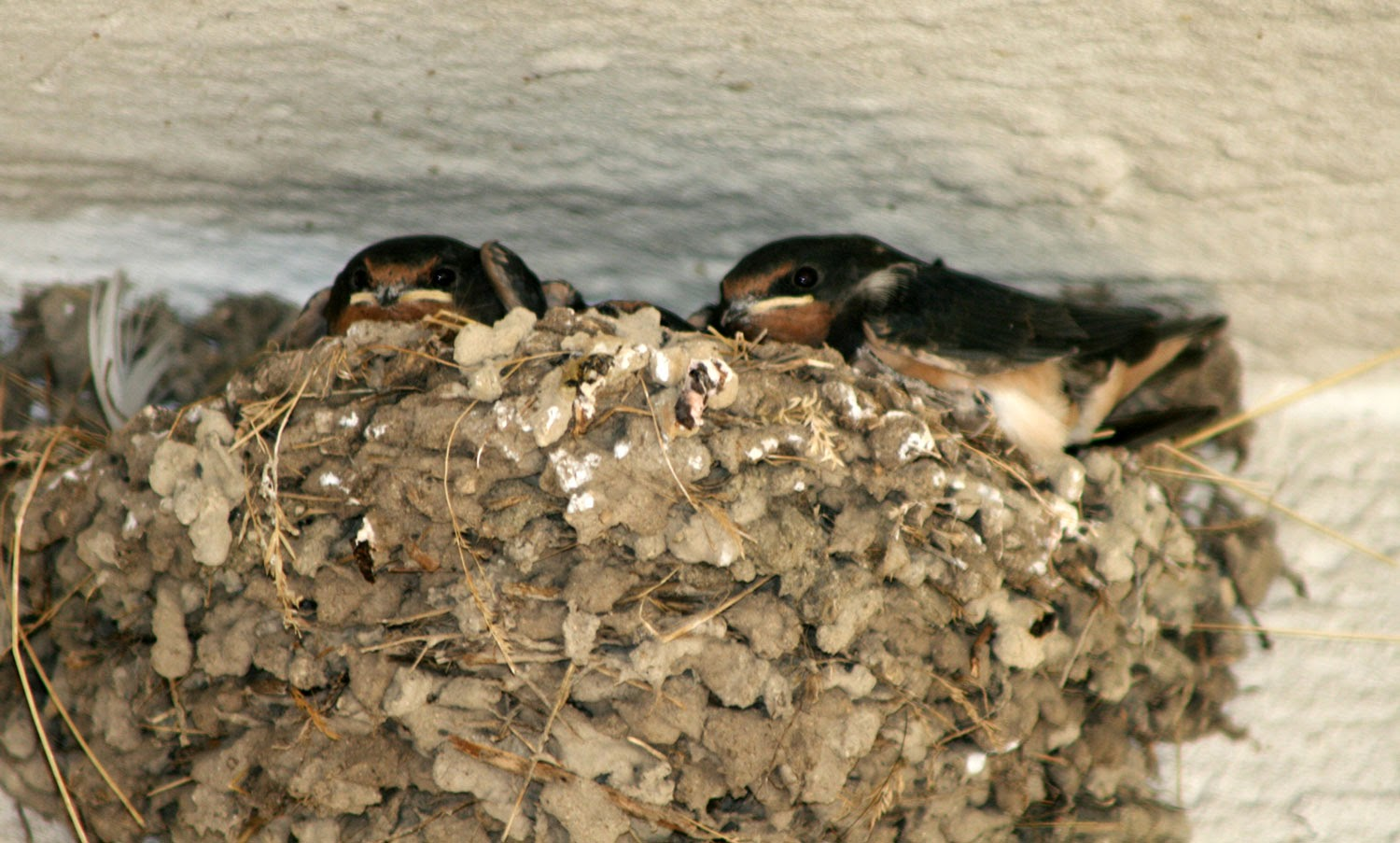 Rather large baby swallows