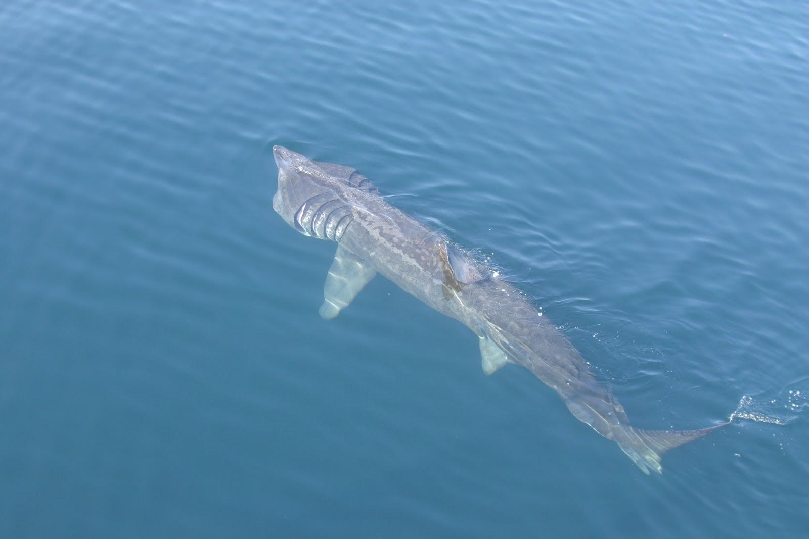 Basking Shark - Fishes World - HD Images & Free Photos