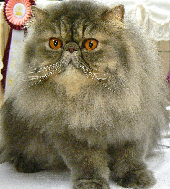 gambar kucing persia item gambar kucing persia coklat kucing sphynx