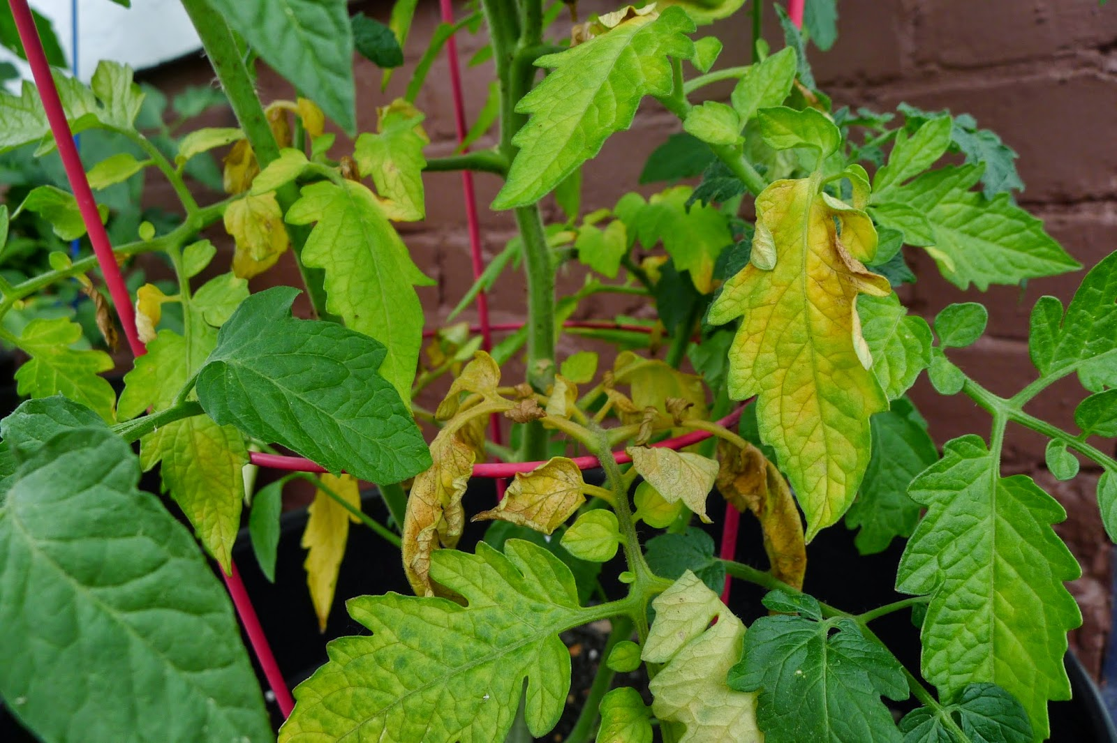 Tomato plants with yellow leaves, tomatoes, urban farming