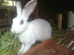 kelinci-26