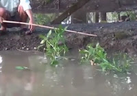 cara mancing ikan gabus cara unik umpan itik anak bebek kecil
