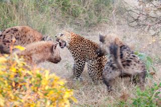hiena vs leopardo