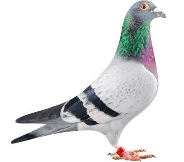le plus cher pigeon: Bolt