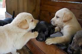 cachorros perros labradores, bonitos cachorros, perritos