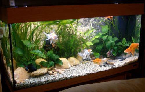 Inspiratie  Aquarium inrichting   Kersenbloesems
