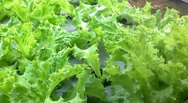 manfaat selada-selada bagi kesehatan