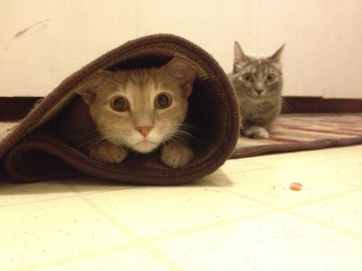 Два кота играют на ковре
