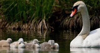 Mamá cisne nadando con sus crías bebés