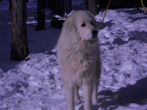 Livestock guardian dogs - worth their weight in gold