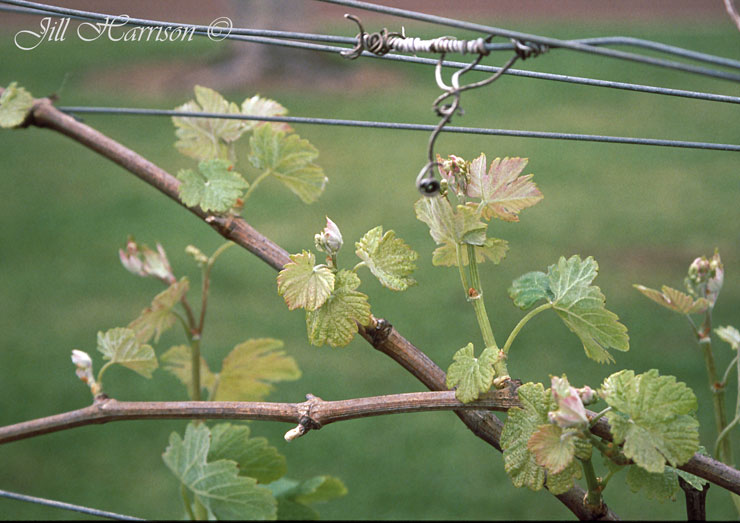 how to grow grapes at home in australia