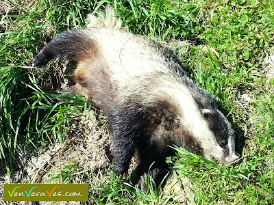 teixugo morto atropelado nunha pista da campiña