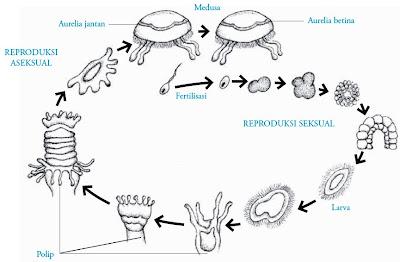 Siklus hidup Aurelia sp.
