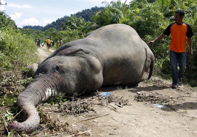 Lagi Gajah ditemukan tewas di Aceh Jaya