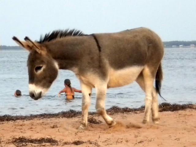 Donkey in P.E.I.