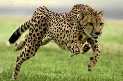 Personaje ¿Que evocaría? (Questionario) - Página 2 Leopardo+Corriendo+1