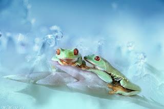 Wil Mijer, ranitas tropicales, tropical frogs, fotografía macro, macro photograpy