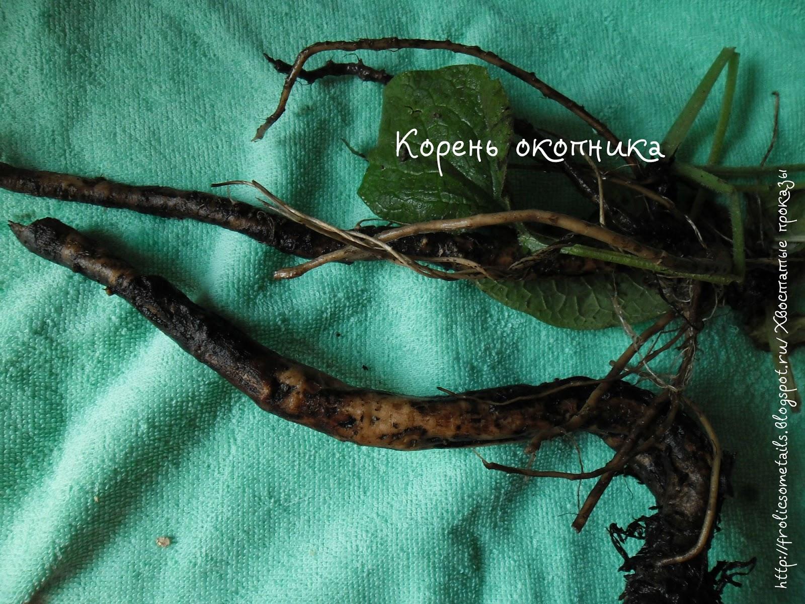корень окопник, травы после ушиба, вывиха, перелома