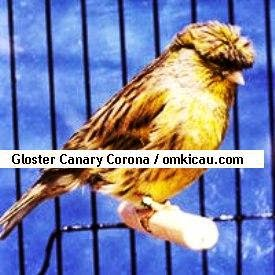 Gambar Cara Merawat Burung Kenari Gloster