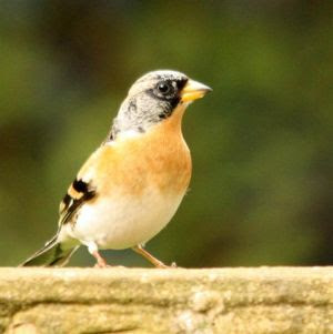 Brambling