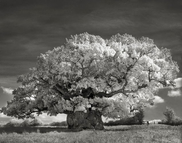 beth moon oldest living trees-4