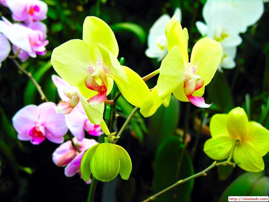 hình ảnh hoa lan mokara