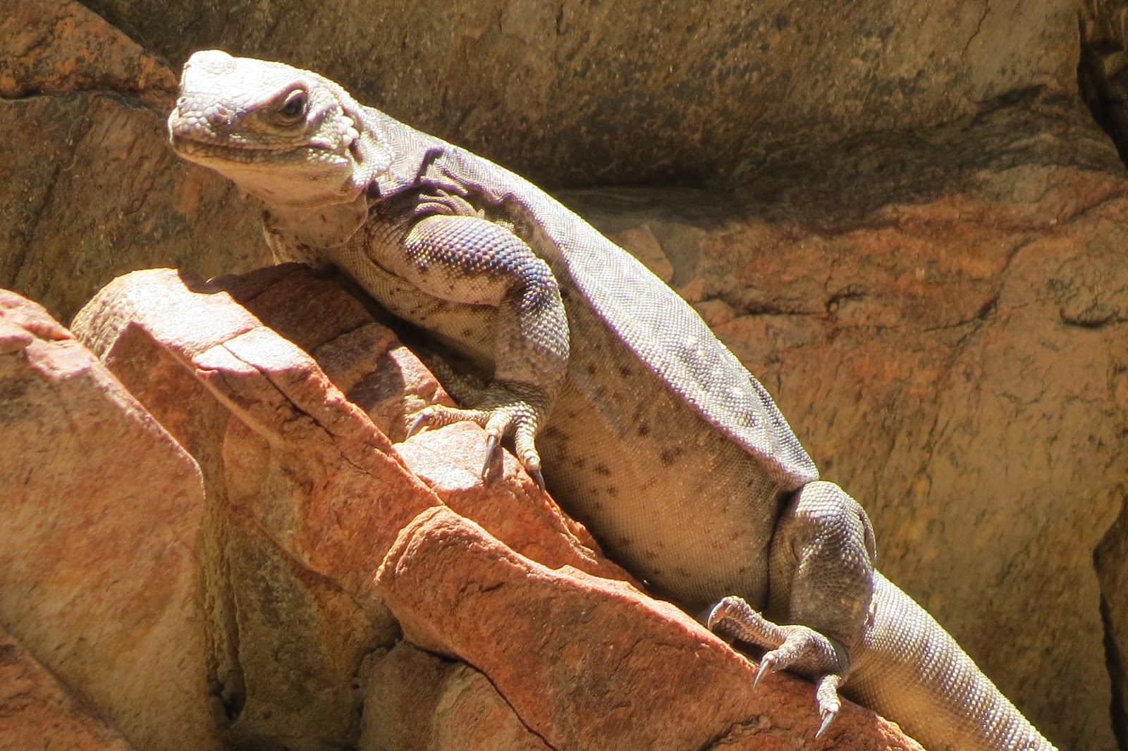 Indian Canyon chuckwalla