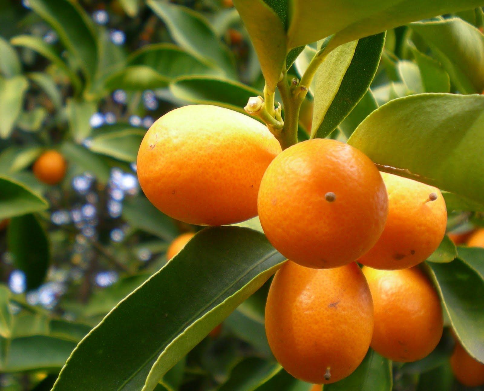 The citrus guy july 2012 for Plante kumquat