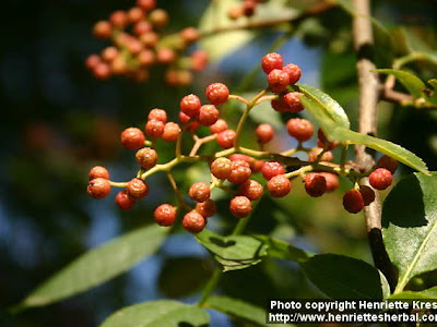 XANTHOXYLUM (X. Americanum o Fraxineum)
