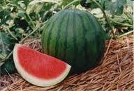 budidaya semangka, cara menanam semangka