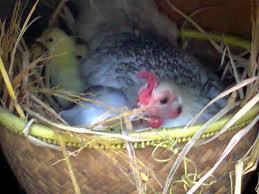Insektisida, obat ampuh untuk membasmi hama kutu pada ayam