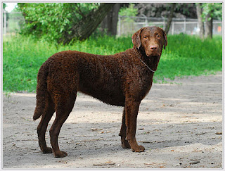 Chesapeake Bay Retriever Dog 4