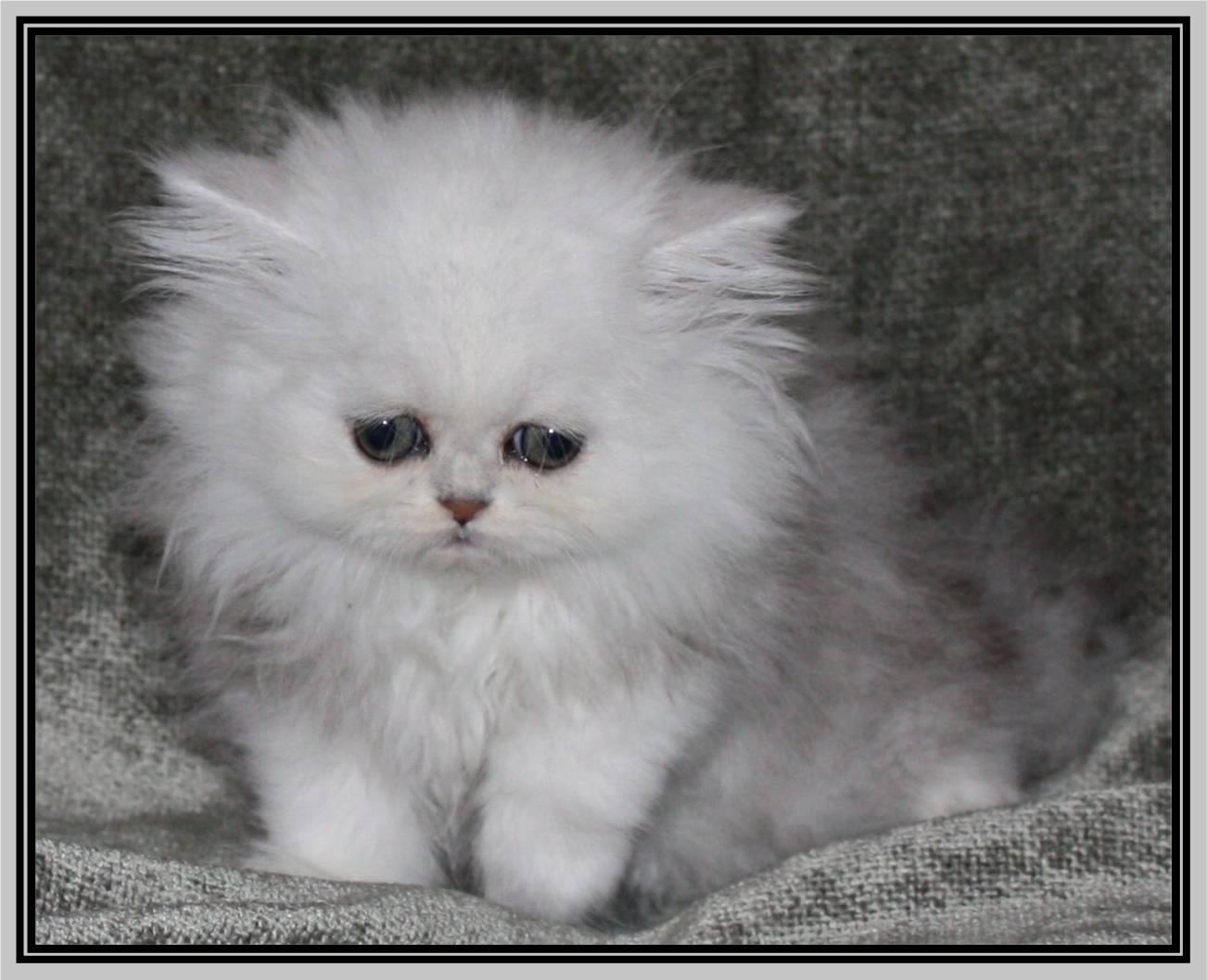 Chinchilla Persian Kittens Bing Images