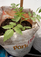 64-day-old San Marzano plant (2 days after transplantation