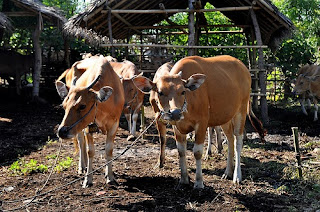 2 Indonesian cows