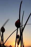 Gräslök i solnedgången...