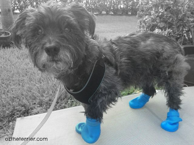 Black & White photography Oz the Terrier in Jelly Wellies Rain Boots for Dogs