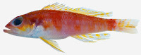http://sciencythoughts.blogspot.co.uk/2015/02/a-new-species-of-serranineperchlet-from.html